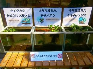 江戸川区 瑞江 メガネ メダカ