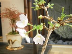 江戸川 桜満開 メガネ