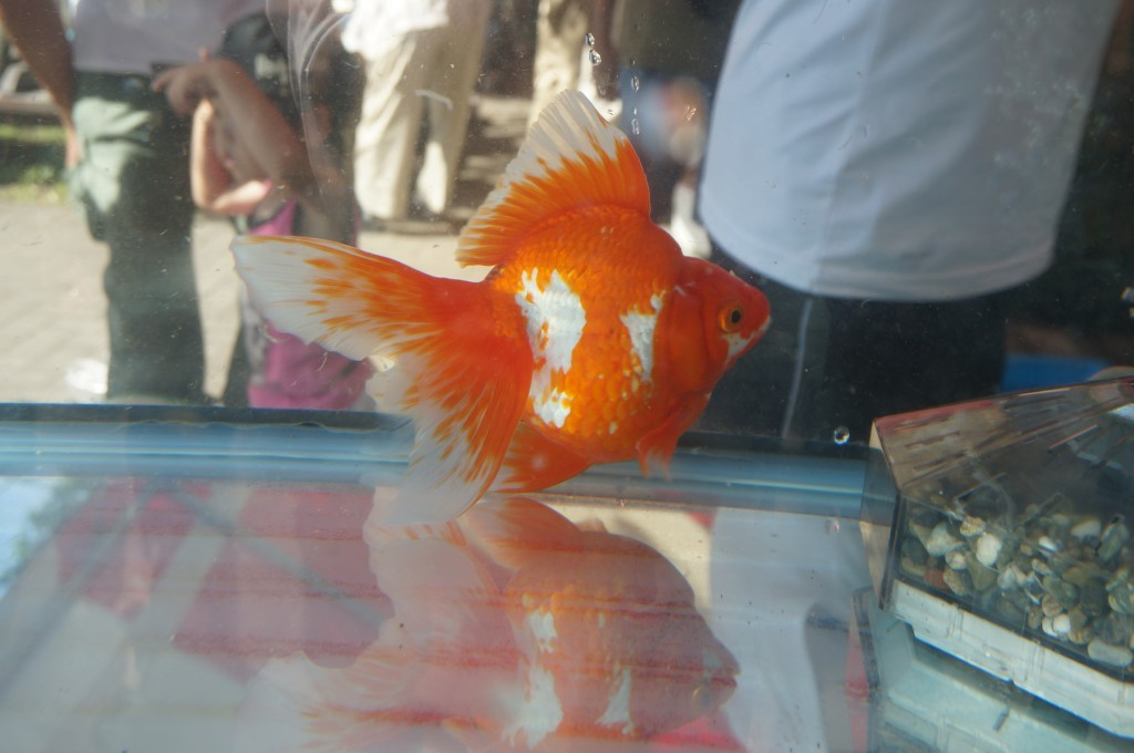 江戸川区 メガネ 金魚