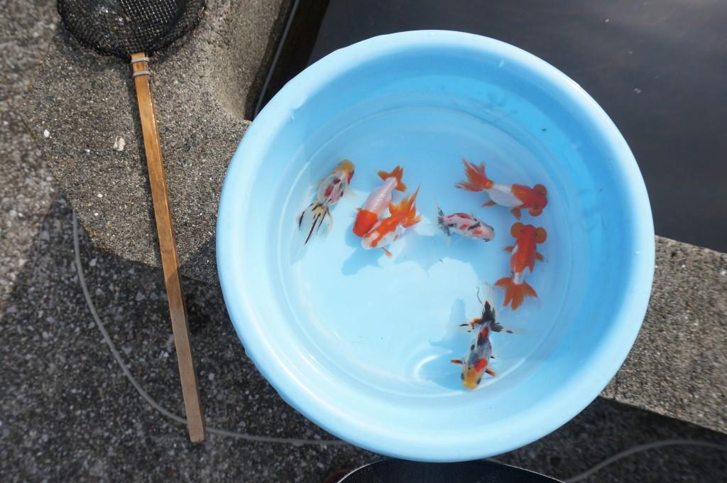 江戸川区 堀口養魚場 メガネ 金魚