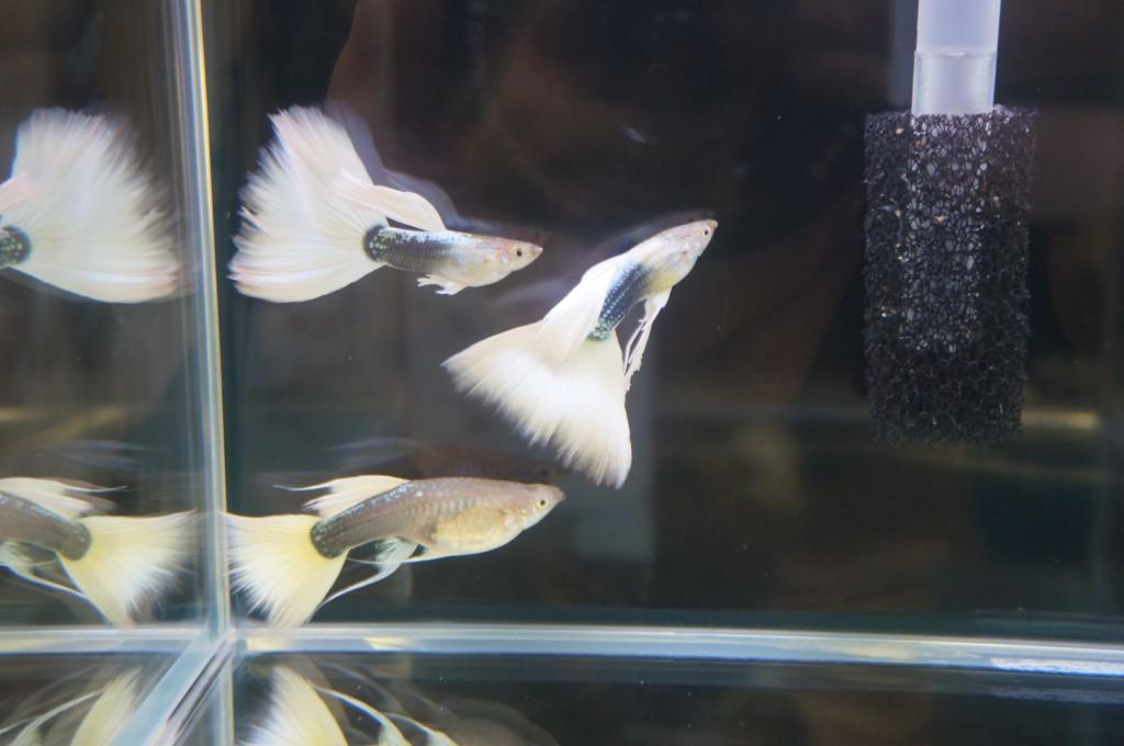 観賞魚フェア 江戸川区 金魚 メガネ