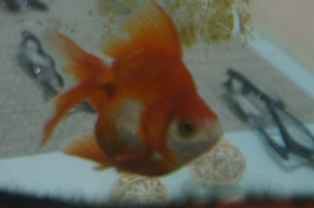 江戸川区 メガネr 金魚
