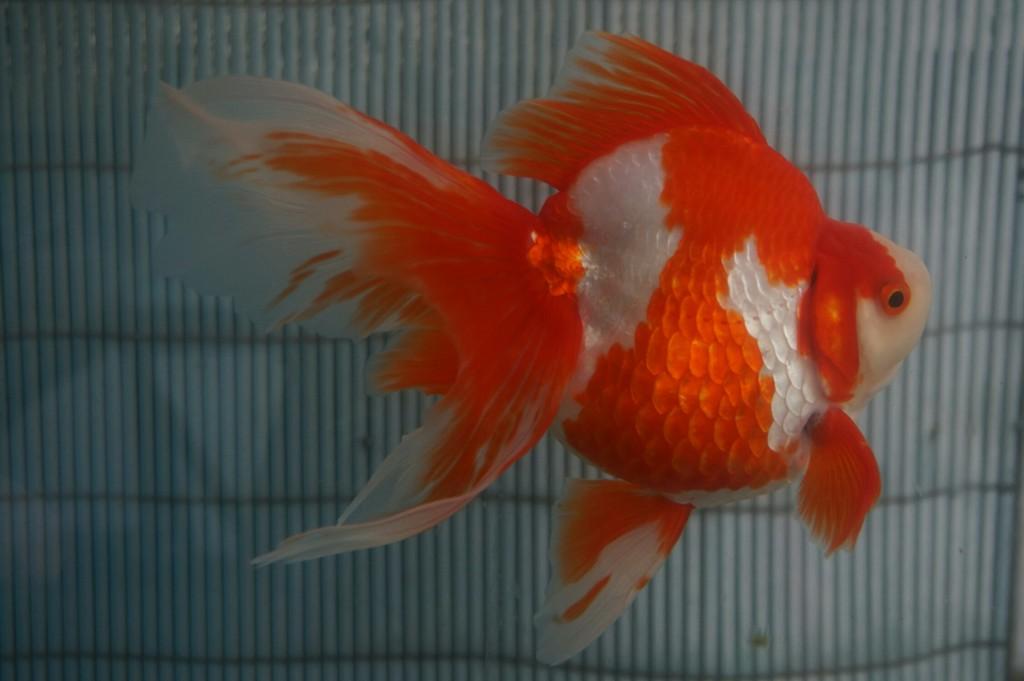 堀口琉金 金魚 メガネ
