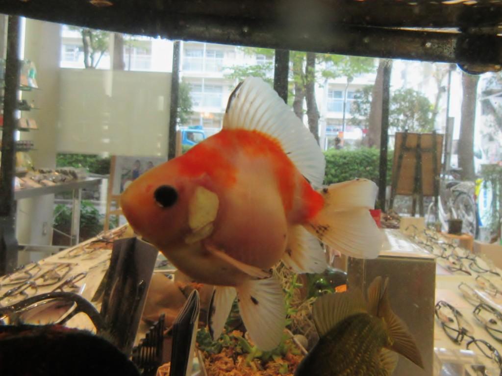 江戸川区 金魚 メガネ