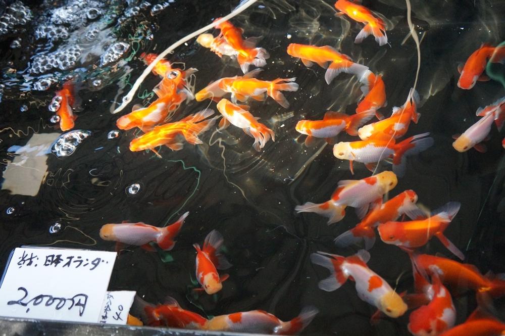 江戸川区 メガネ 良く見える 金魚 堀口養魚場