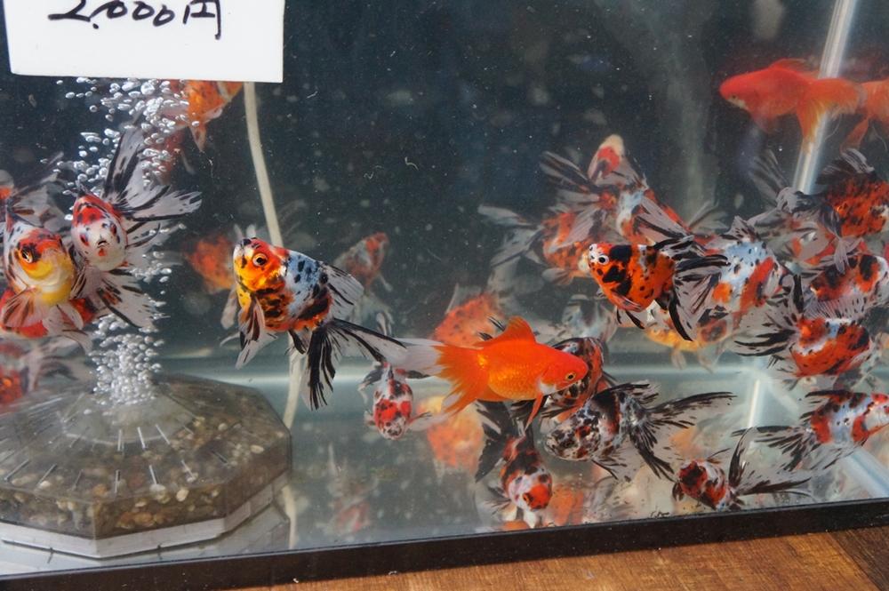 江戸川区 メガネ 良く見える 堀口流金 金魚